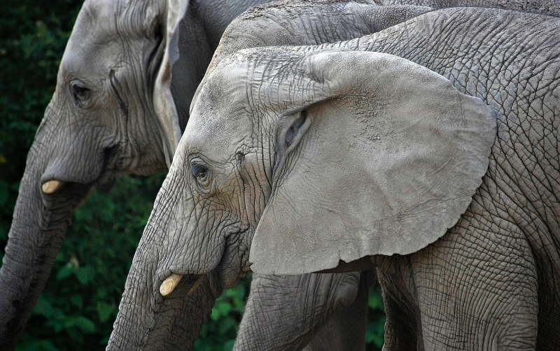 Ford X Plan Pricing >> Elephant, African | Roger Williams Park Zoo